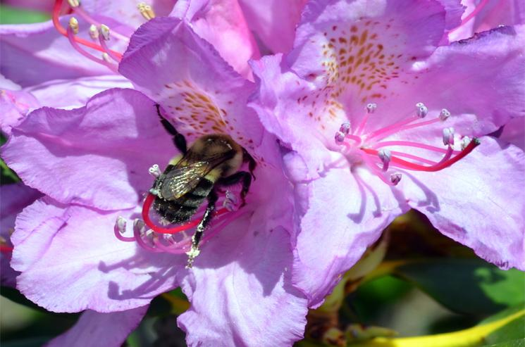 Rhododendron Blossoms with a bumblebee collecting pollen, Roan Mountain