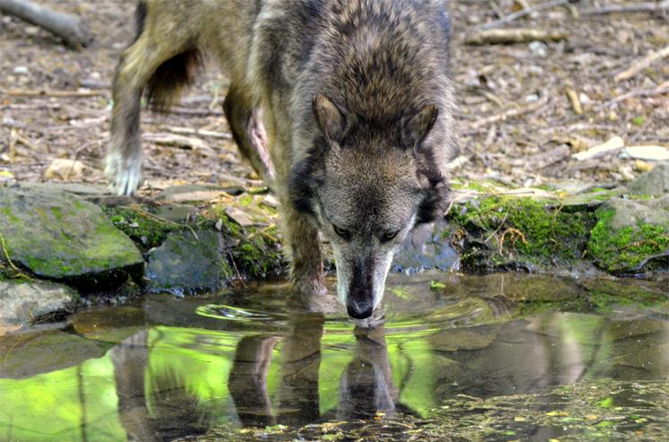 Grey Wolf, Bays Mountain Park, Kingsport