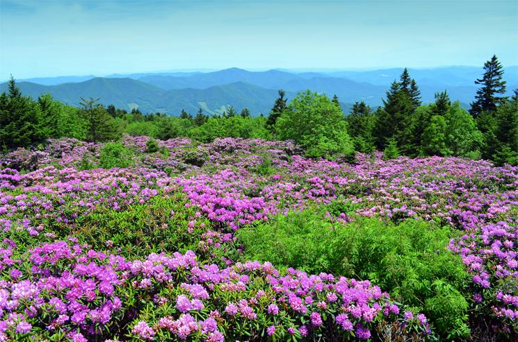 Natural rhododendron gardens atop Roan Mountain