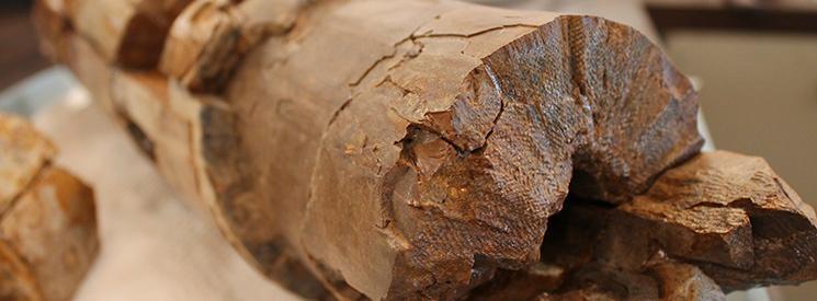Fossilized mastadont tusk