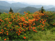 Mountain scene with flaming azaleas